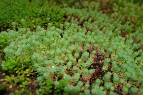 All about Sedum